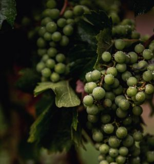 grapes-to-wine.jpg